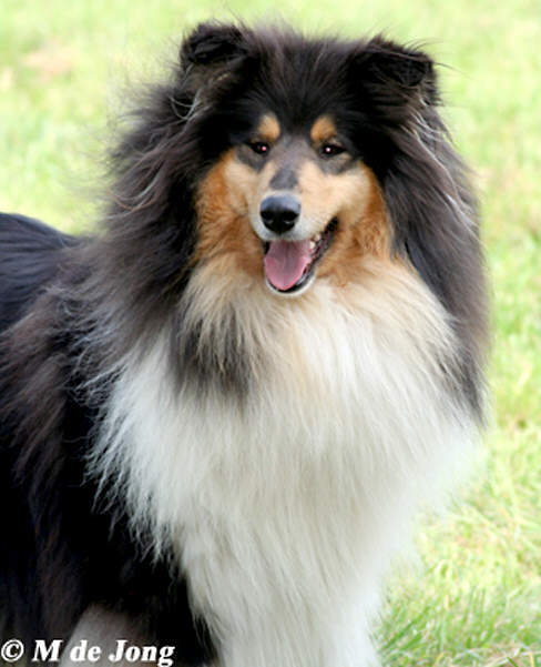 photo collie-online